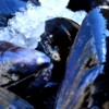 Mussels Ice3 E1381596732648