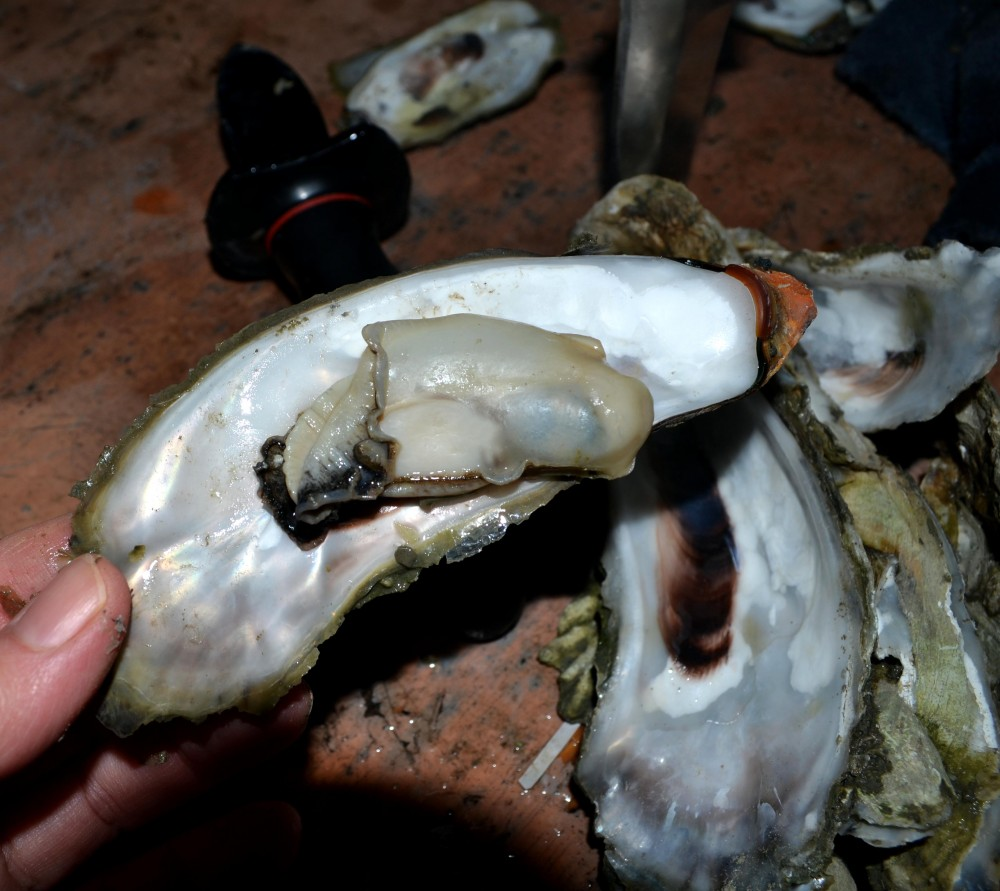 oysters1ed