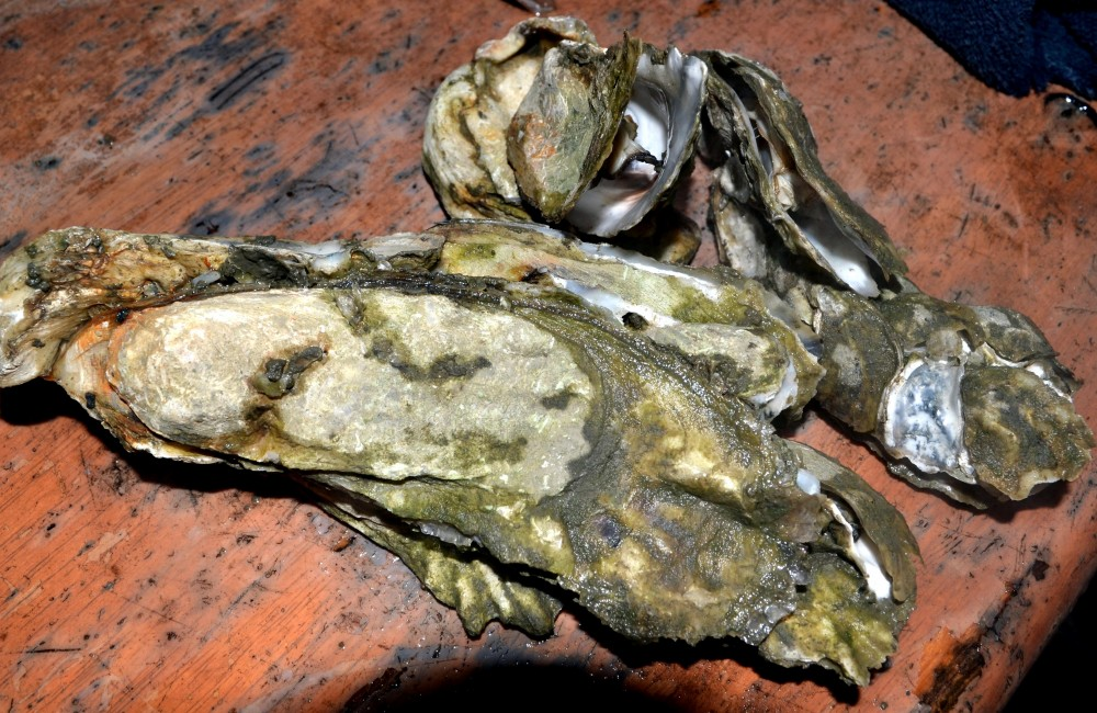 oysters3